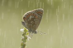 Butterfly in the rain Stock Image