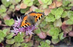 Butterfly rash on flowers of Sedum. Stock Photo