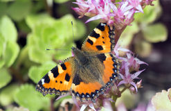 Butterfly rash on flowers of Sedum. Royalty Free Stock Images