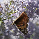 Butterfly rash on lilac colors. Butterfly urticaria. Royalty Free Stock Photography