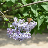 Butterfly rash on lilac colors. Butterfly urticaria. Butterfly rash on lilac colors. Insect pollinators. Butterfly urticaria Royalty Free Stock Images