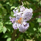Butterfly rash on lilac colors. Butterfly urticaria. Butterfly rash on lilac colors. Insect pollinators. Butterfly urticaria Stock Image