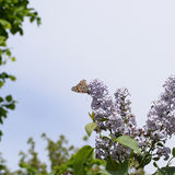 Butterfly rash on lilac colors. Butterfly urticaria. Butterfly rash on lilac colors. Insect pollinators. Butterfly urticaria Royalty Free Stock Image