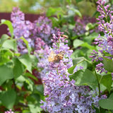 Butterfly rash on lilac colors. Butterfly urticaria. Butterfly rash on lilac colors. Insect pollinators. Butterfly urticaria Royalty Free Stock Photography