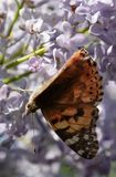 Butterfly rash on lilac colors. Butterfly urticaria. Butterfly rash on lilac colors. Insect pollinators. Butterfly urticaria royalty free stock photo