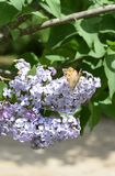 Butterfly rash on lilac colors. Butterfly urticaria. Butterfly rash on lilac colors. Insect pollinators. Butterfly urticaria stock photography