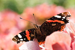 Butterfly Red admiral Stock Photo