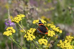 Butterfly red admiral on yellow flowers of tansy. Butterfly red admiral on a bright yellow flowers of tansy on a beautiful blurred background royalty free stock image
