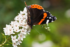 Butterfly Red Admiral on gooseneck loosestrife Stock Image