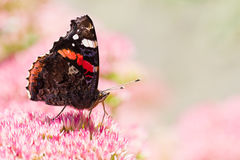 Butterfly Red admiral on sedum flowers Royalty Free Stock Images