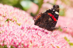 Butterfly Red admiral on sedum flowers Royalty Free Stock Image