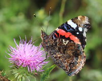 Butterfly - Red Admiral (Vanessa atalanta) Royalty Free Stock Images
