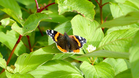 Butterfly Red Admiral. Vanessa Atalanta Royalty Free Stock Images