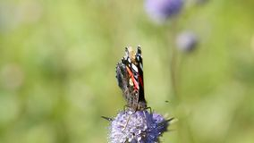 Butterfly Red Admiral (Vanessa atalanta). Collecting nectar on field flower stock footage
