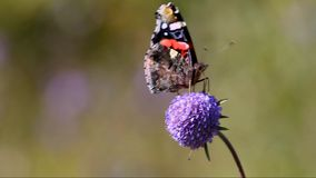 Butterfly Red Admiral (Vanessa atalanta). Collecting nectar on field flower stock video footage