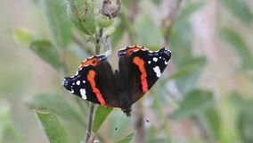 Butterfly Red Admiral (Vanessa atalanta). (1080p; 30 fps stock video footage