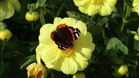 Butterfly of  Red Admiral Vanessa atalanta on a yellow flower of Dahlia, close-up. Brightl butterfly of  Red Admiral Vanessa atalanta on a yellow flower of stock footage
