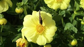 Butterfly of  Red Admiral Vanessa atalanta on a yellow flower of Dahlia stock video