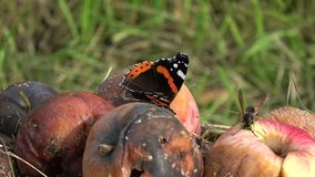 Butterfly red admiral and wasp on rotten apples. Butterfly red admiral and wasp on rotten summer end apples in garden stock video
