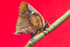 Butterfly on red background Royalty Free Stock Image