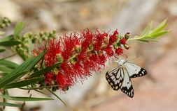 Butterfly on Red Calistemon Flower. The flower spikes of bottlebrushes form in spring and summer and are made up of a number of individual flowers. The pollen of Royalty Free Stock Image