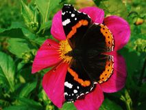 Butterfly. In red flower Royalty Free Stock Photos