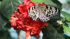 Butterfly on red flower. Butterfly on the red flower stock video