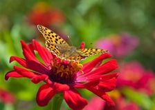 Butterfly on a red flower. Stock Images