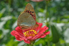 Butterfly on red flower Royalty Free Stock Photography