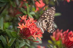 Butterfly on red flower. In the garden Royalty Free Stock Photo