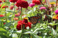 Monarch butterfly in Zinnia garden. Butterfly on red flower gathering pollen. Flowers and leaves in background. Rochester, New York stock photos