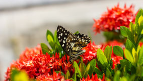 Butterfly with red flower spike Gord. Royalty Free Stock Photography