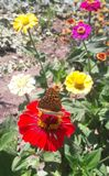 Butterfly on a red flower in the sun royalty free stock photo