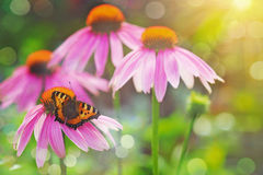 Butterfly on a red flower in sunset light. Stock Images