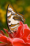 Butterfly on red flower. Tailed emperor butterfly on red torch ginger, close up Royalty Free Stock Photos