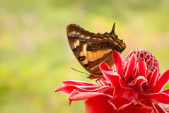 Butterfly on red flower. Tailed emperor butterfly on red torch ginger with green background. Space for copy Royalty Free Stock Photos
