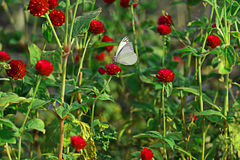 Butterfly on red flower. White butterfly on red globe amaranth royalty free stock photo