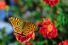 Butterfly on a red flower. Yellow butterfly sitting on a flower Royalty Free Stock Image