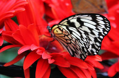 Butterfly on Red Flowers. Close-up of butterfly on red flowers royalty free stock photos