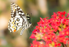 Butterfly on a red flowers. Stock Photo
