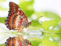 Butterfly Red Lacewing Stock Images