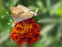 Butterfly on red marigold stock photography