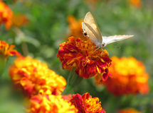 Butterfly on red orange marigold flowers Stock Images
