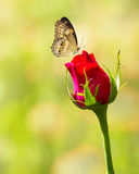 Butterfly on red rose flower Stock Image