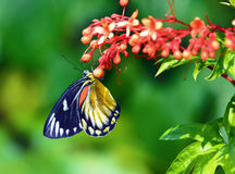 Butterfly (Red-spot Jezebel) and flower Stock Image