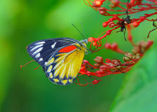 Butterfly (Red-spot Jezebel) and flower Royalty Free Stock Image