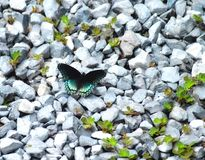 Butterfly Red Spotted Purple Admiral Limenitis arthemis royalty free stock image