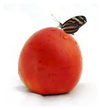 Butterfly on red tomato Stock Photo