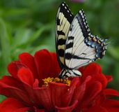 Butterfly on a red zinnia Stock Photos