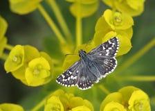 Butterfly relaxing. Safflower Skipper (Pyrgus carthami) butterfly on yellow Euphorbia flower Stock Photos